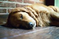 Sleeping golden retriver
