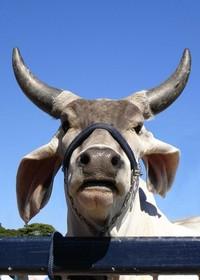 touro guzera 1