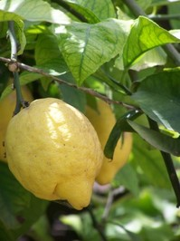 A lemon tree in Spain
