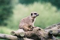 Meerkat Patrol 1