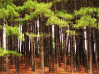 Bright Cedar Forest