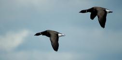 flying geese 4