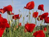 Poppy filed, campo de amapolas