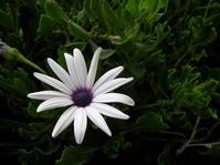 white flower from bozcaada