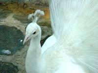 Pavo Real Blanco 2