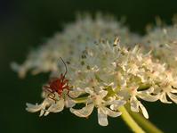 Orange soldier beetle