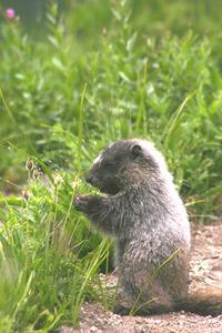 Marmots on Ranier 1
