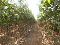 Tomato plants 4