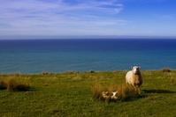 New Zealand sheep with lamb