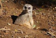 Meerkat at the Nashville zoo