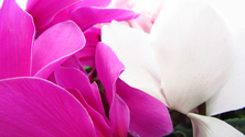 Petals (close-up)