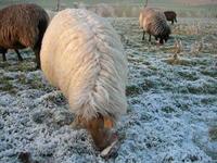 Sheep in Winterlandscape 3