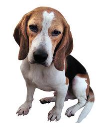 Beagle(Pop)
