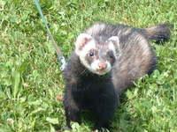 Toby my furret 4