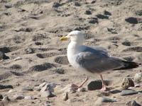 SeaGul on a beach