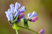 Spring Virginia Bluebells 3