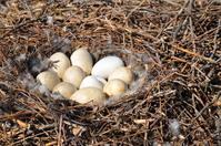 Swan Nest 4