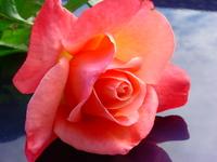 Rozkvitnutá ružová ruža