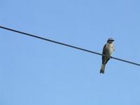 brazilian birds 4