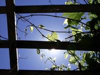Grape Plant in the Sun
