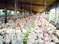 Aviculture in Brazil