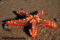 sea star 2