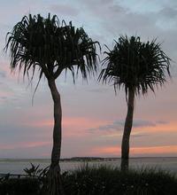 twin pandanus trees at sunset