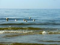 baltic seagulls 2