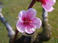 Peach In Blossom 2