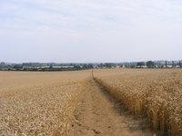 Path through a Wheatfield