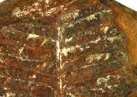Leaf Fossil Pennsylvanian period Tulas Count