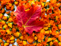 Canadian Leaf over Flowers