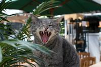 Yawning cat 3