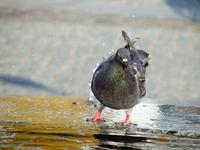 pigeons in Olsztyn