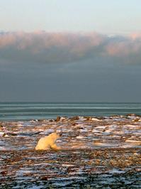 Polar Bean on tundra