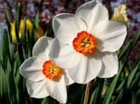 Alien daffodils