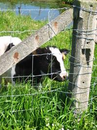 Belgian calfs 3