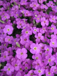 Purple flowers (aubrieta)