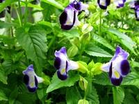 Wishbone flowers