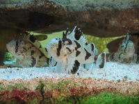 Cobblers (fish)