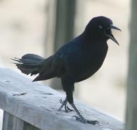 Madmaven's Crow