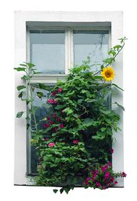 Sunflower in old window