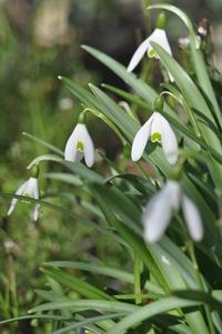 Snowdrop flower - Galanthus