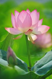 Summer Lotus 5