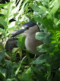 hawaiien bird