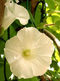 fiore bianco 15