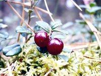 Cowberry