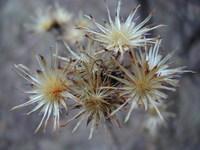 bald flower