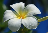 Plumeria Singapore Obtusa Flower