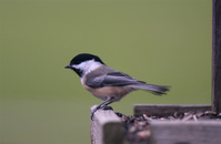 Song Birds 13